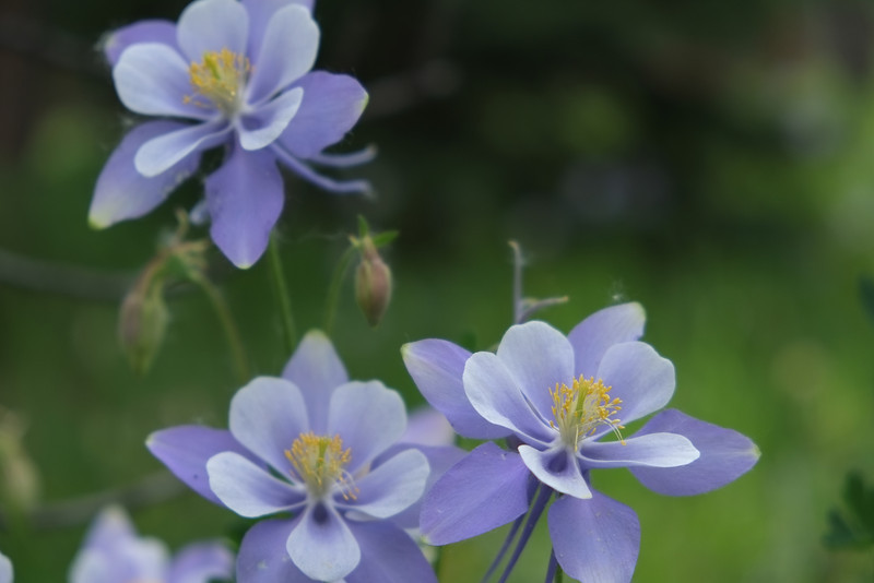 Colorado Columbines 2