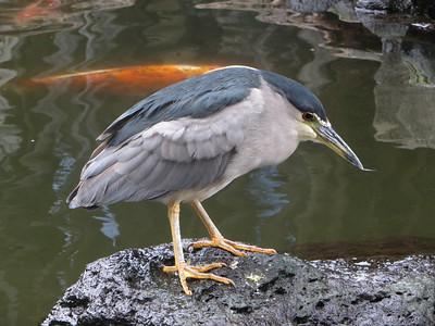 Wildlife - Birds of Hawaii