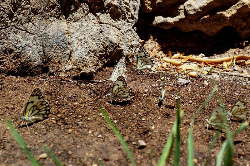 Neuras - Butterflies - Namibia
