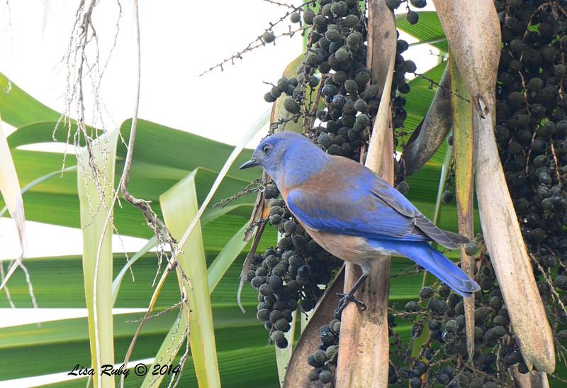 Western Bluebird - 12/11/2014 - Backyard Sabre Springs