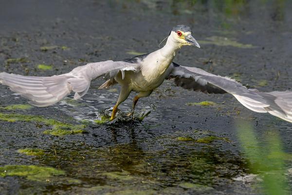 7-10-18 Black-Crowned Night-Heron - Crazy Antics