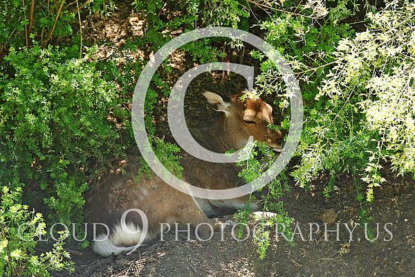 Sika Deer Wildlife Photography