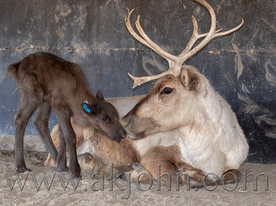 Baby Day at the Williams Reindeer Farm