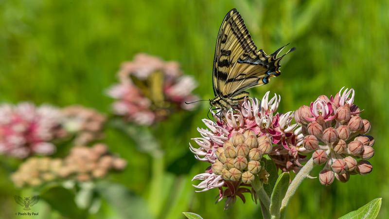 Roxy Butterfly 1 16x9.jpg