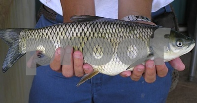 harvest-of-grass-carp-legal-in-lake-austin
