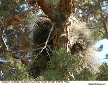 Porcupine17632.jpg