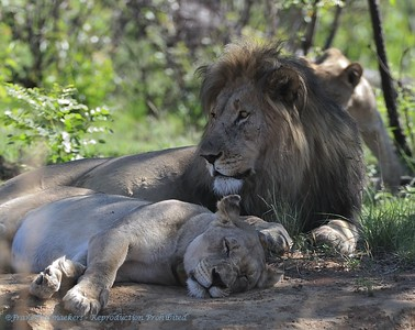 Leeuw; Panthera leo; Lion; Löwe