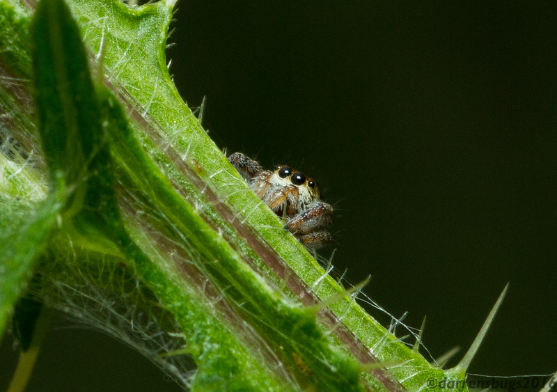 A jumping spider (Salticidae) peers out cautiously. (Iowa)
