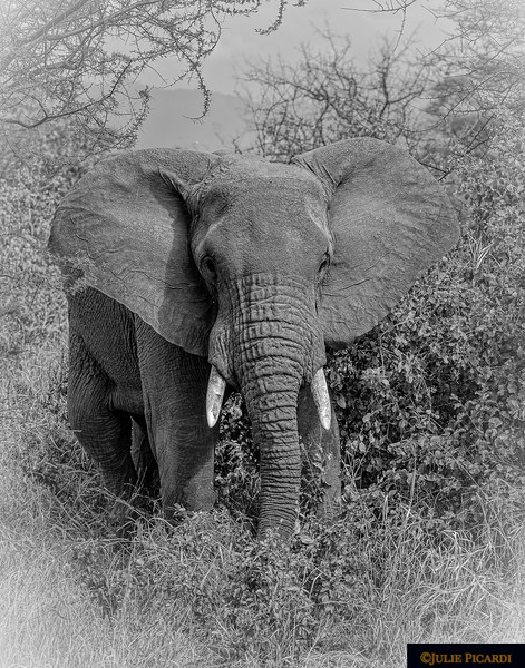 Portrait of a Young Bull Elephant  in Black & White
