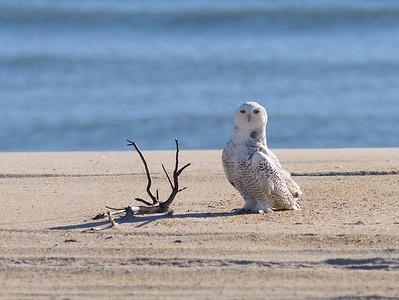 Snowy Owls at Assateague Island