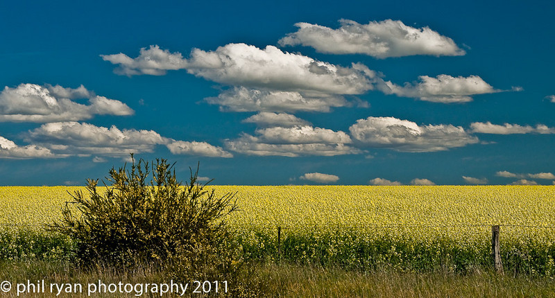 Canola and Clouds, Victoria, Australia