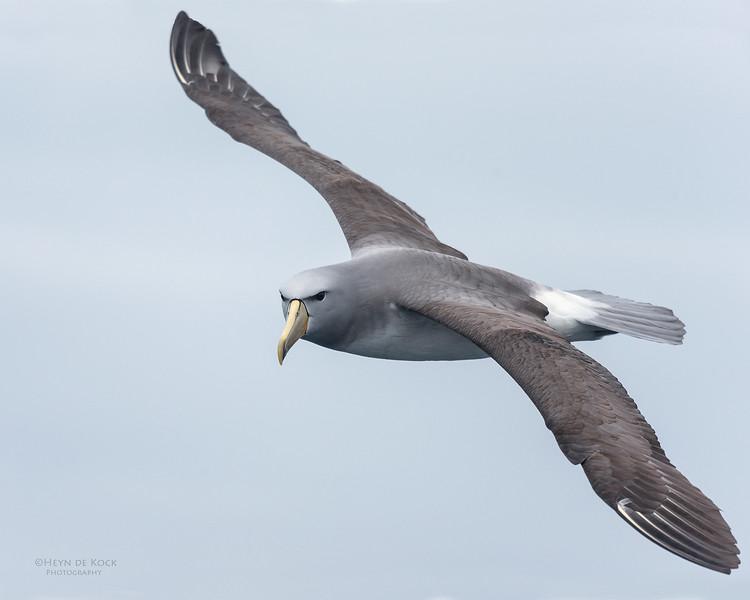 Salvin's Albatross, Eaglehawk Neck Pelagic, TAS, Sept 2016-3.jpg
