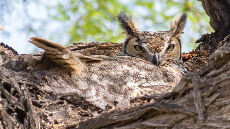 Great Horned Owl resting in tree in South California