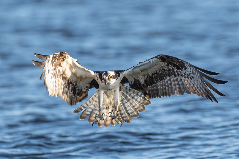 osprey about to catch fish