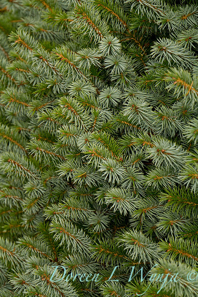 Picea sitchensis 'Papoose'_6423.jpg