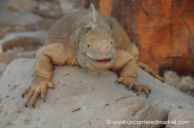 One Happy Iguana - Galapagos Islands