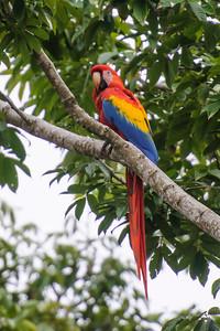 Nov. 2, 2014 - Costa Rica - Scarlet Macaw