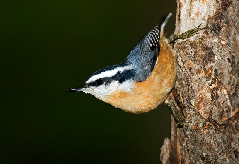 Rose-breasted Nuthatch.jpg