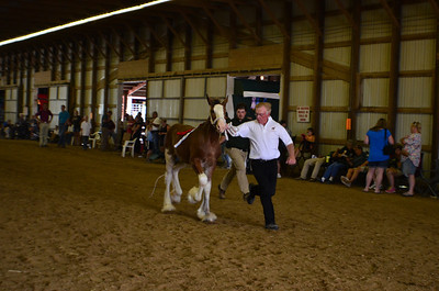 570 Filly Foal Clydesdale