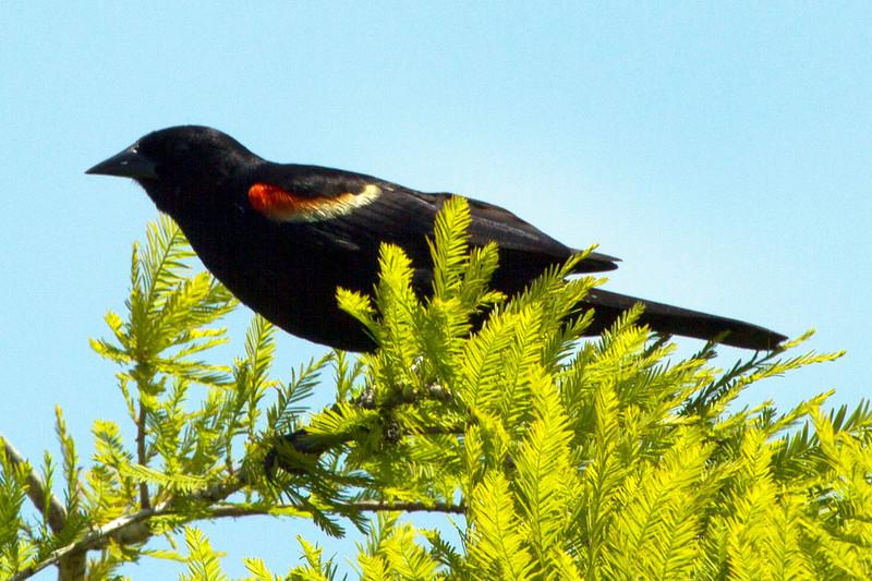 redwingedblackbirdinevergreen.jpg