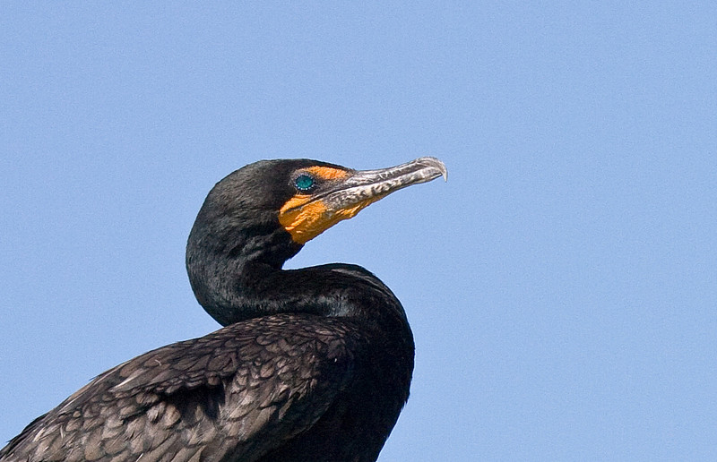 double-crested commorant