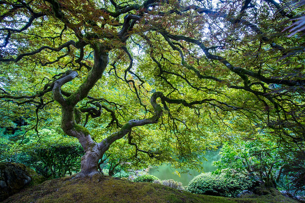 Japanese Maple Photography