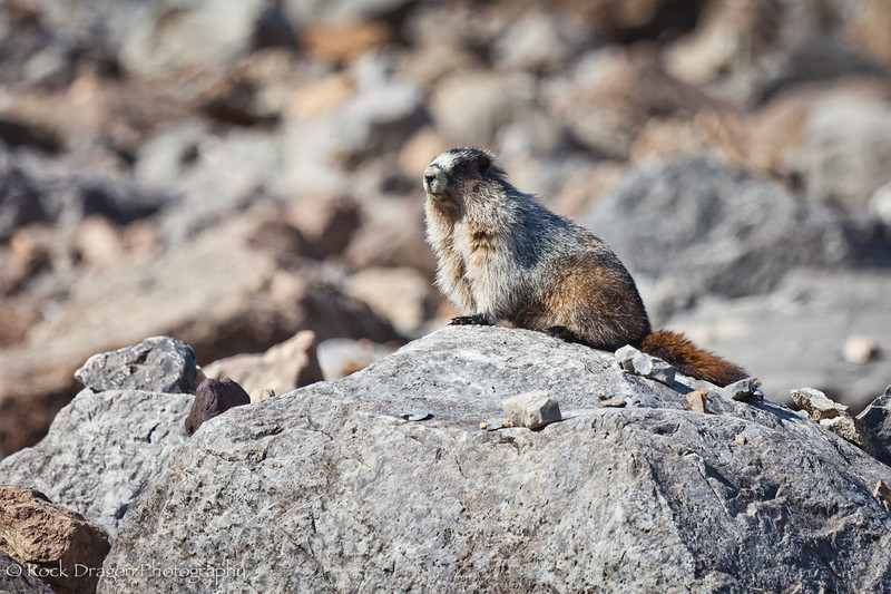 A Marmot at Plain of Six Glaciers in Lake Louise, Banff National Park.