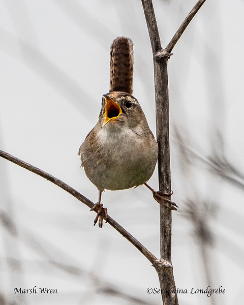 _DSC8055Marsh Wren singing.jpg