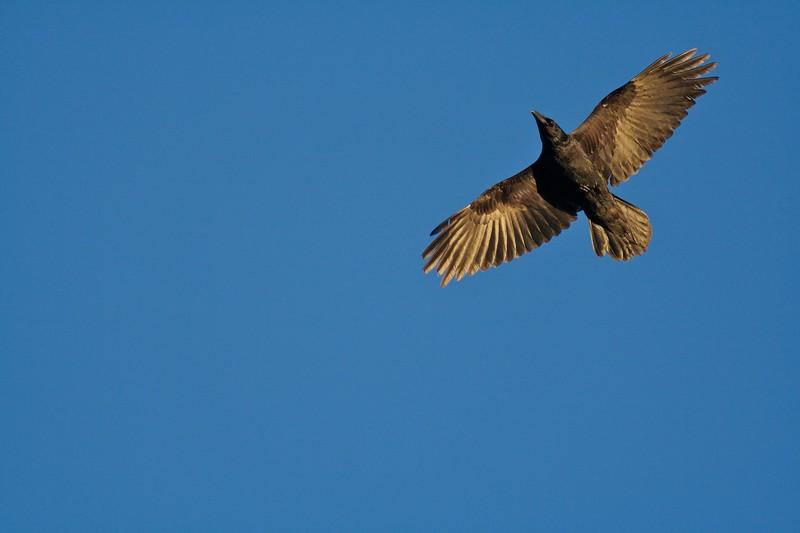 Common Raven overhead Fond du Lac S.F. Carlton Co MN IMG_9445.jpg