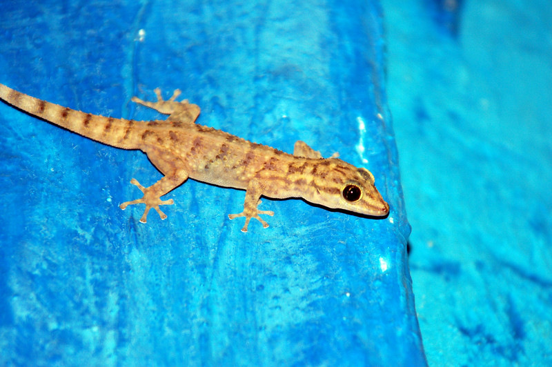 in our room... San Cristobal Leaf Toed Gecko (I think)... I also saw a Lava Lizard earlier, but didn't catch a pic