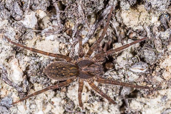 Uliodon albopunctatus - Large brown vagrant spider