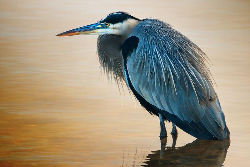 11.15.18 - HWY 12 Bridge: Great Blue Heron