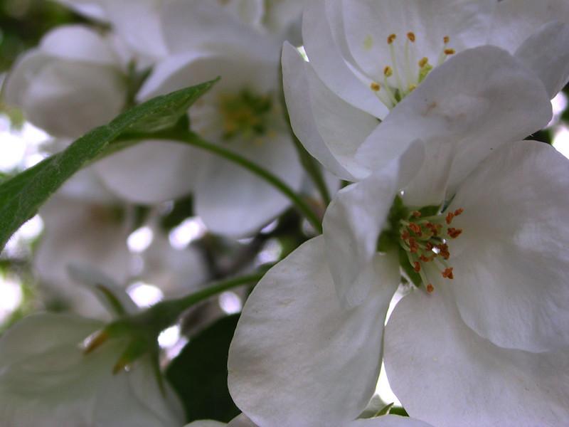 white bloom 22.JPG