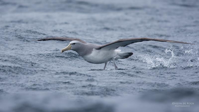 Salvin's Albatross, Eaglehawk Neck Pelagic, TAS, Sept 2016-7.jpg