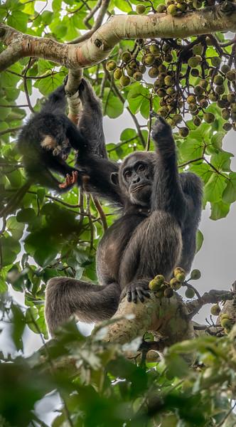 Uganda_T_Chimps-1249.jpg