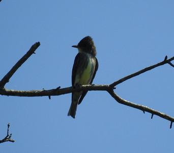 St. Louis Audubon Society Field Trip 05/13/17