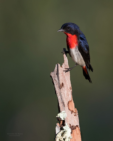Mistletoebird, Hinterland Regional Park, Gold Coast, QLD, Aus, Sept 2017-1.jpg