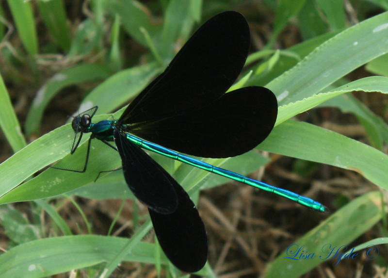IMG_4977 PS DRAGONFLY signed 2.jpg