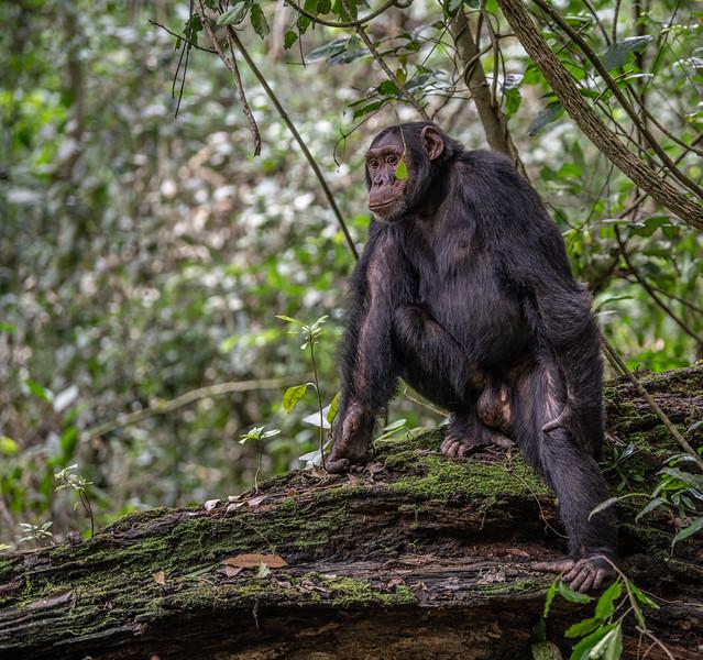 Uganda_T_Chimps-106.jpg