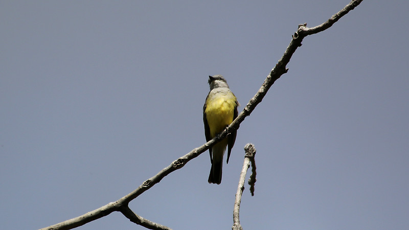 Western Kingbird in Del Puerto Canyon