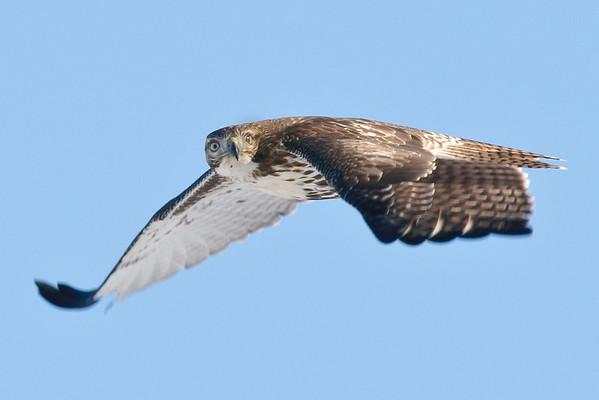 Hawks, Owls