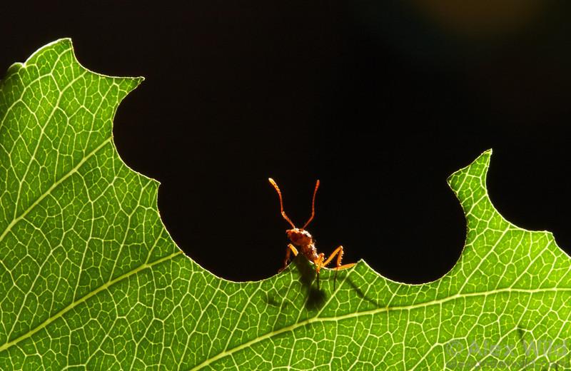 Acromyrmex coronatus. Leafcutter ants slice characteristic circular patterns in vegetation.  Panamá