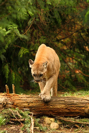 Mountain Lion / Cougar / Puma ((Puma concolor) (c) crossing a fallen log. © 2007 Kenneth R. Sheide