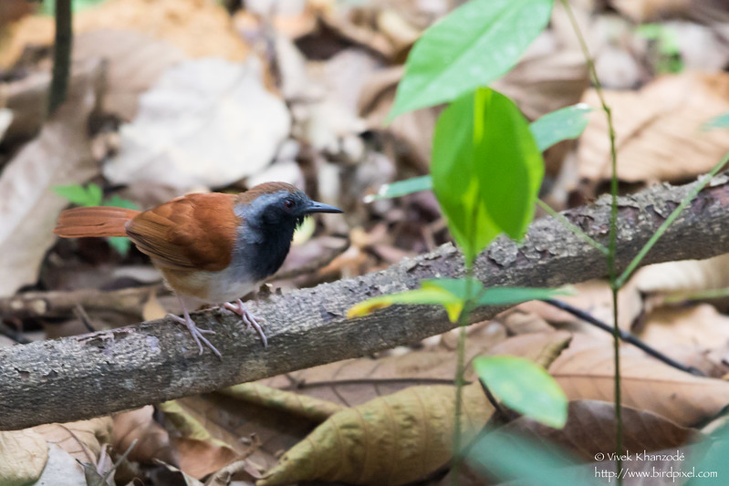 White-bellied Antbird - Male - Asa Wright Nature Center, Trinidad