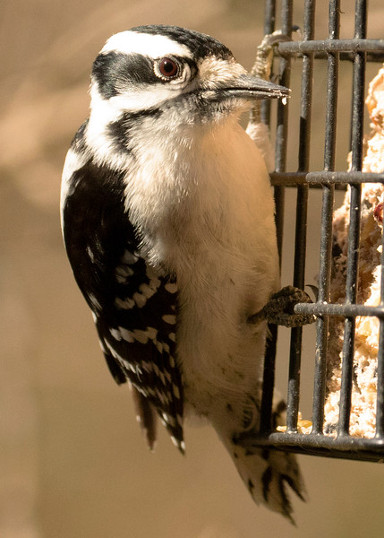 Female Hairy Woodpecker in Spring, 2020