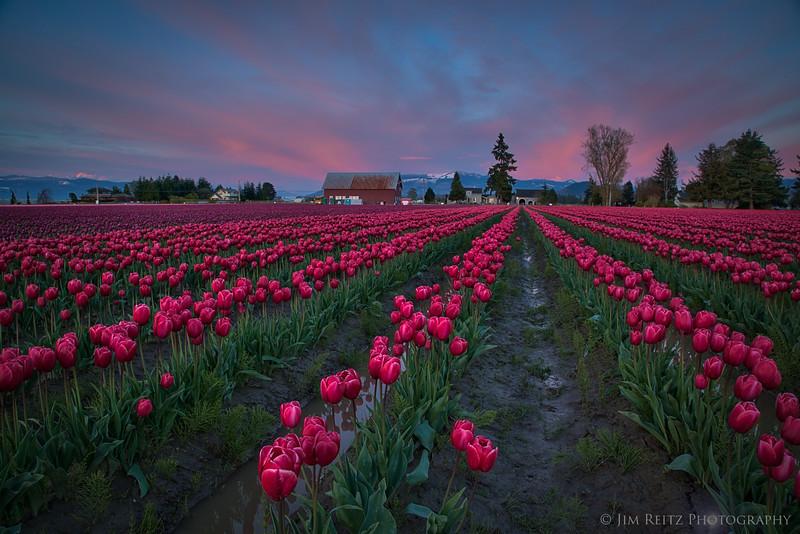 Twilight tulip fields - Skagit Valley, Washington