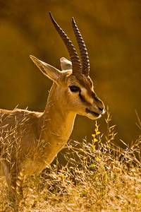 Head of a Chinkara (Gazella bennettii) or Jabeer Gazelle in Ranthambhore's dry grasslands