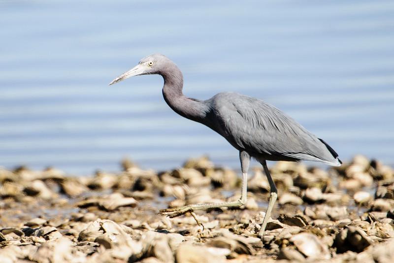 Heron - Little Blue - Betz-Tiger Creek Preserve State Park - Jacksonville, FL
