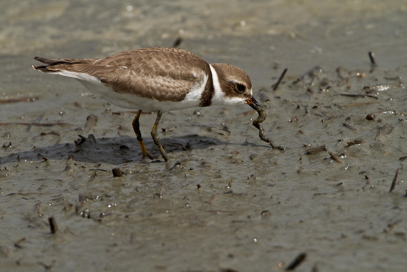 Semipalmated plover catching worm in salt marsh mud flat