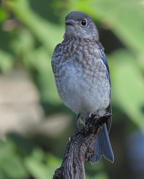sx50_bluebird_fledgling_whitetoe_boas_041.jpg